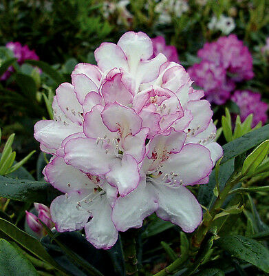 Rhododendron Test